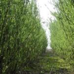 Salcie energetica anul II vegetatie