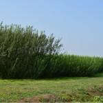 Culturi comparative an I si II de vegetatie (salcie energetica)