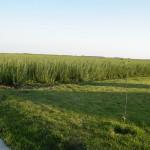 Culturi salcie energetica - Rebina Agrar Romania